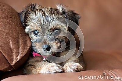 Un cucciolo misto Tzu adorabile di Shih e di Yorkie sta sedendosi su ...