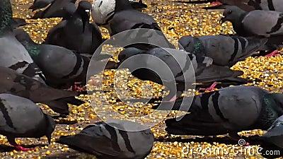 Un desván de las palomas que comen granos y los cereales en el jardín/el sendero almacen de metraje de vídeo
