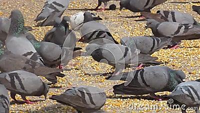 Un desván de las palomas que comen granos y los cereales en el jardín/el sendero metrajes