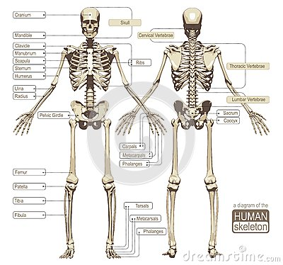 ilustracion del esqueleto humano: