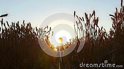 Un enfant heureux court à travers le champ de blé pendant le coucher du soleil dans un mouvement lent Le fils d'un agriculteur da banque de vidéos