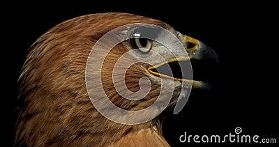 Un falco con piume marroni e un becco giallo guarda i lati, 4k video d archivio