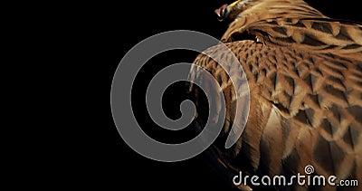 Un falco raccapricciante con becco aperto gira la testa e guarda, 4k stock footage