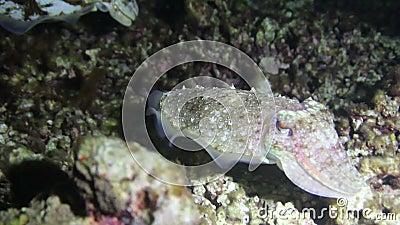 Un fondale marino librantesi di due calamari video d archivio