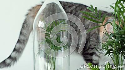 Un gatto dell'animale domestico fiuta le piante verdi in vasi di vetro nell'ambito delle coperture archivi video