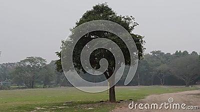 Un gran árbol banyano en un paisaje verde de prado Panorama vertical de la escena rural sobre la tierra llana Conservación del me metrajes