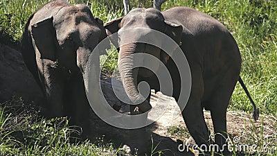 Un grand couple d'éléphants dans le sanctuaire de la jungle thaïlandaise banque de vidéos