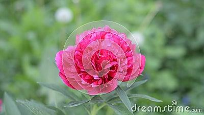 Un grande e bello fiore della peonia di Borgogna ha fiorito di estate nel giardino ornamentale Fuoco selettivo video d archivio