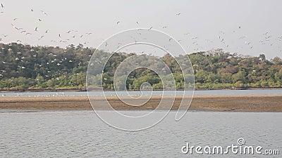 Un grande stormo dei gabbiani si siede su un'isola sabbiosa in mezzo al fiume contro il contesto di una foresta verde, decolla, v archivi video