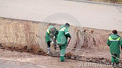Un gruppo dei lavoratori ha piantato gli arbusti nel posto in cui i pedoni hanno calpestato il prato inglese stock footage