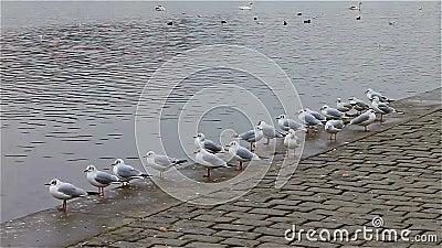 Un gruppo di uccelli gulls su un pilastro vicino al fiume archivi video