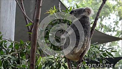 Un koala sur un eucalyptus banque de vidéos