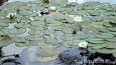 Un lirio acuático en un lago Cierre metrajes