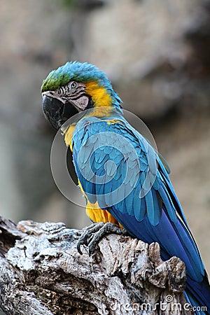 Macaw azul y amarillo