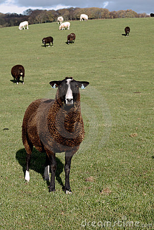 Un mouton rare de race de Brown Zwartbles