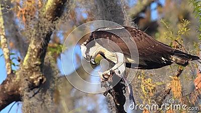 Un Osprey en Florida almacen de metraje de vídeo