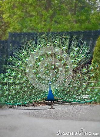 Un pavo real con la visualización del plumaje