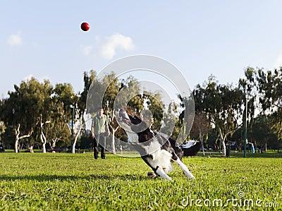 Perro del border collie que trae la bola en el parque