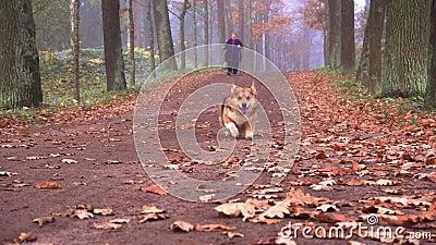 Un perro del Corgi de la raza camina en el parque del otoño con su mujer de la señora metrajes