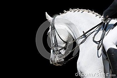 Un ritratto del cavallo grigio di dressage isolato