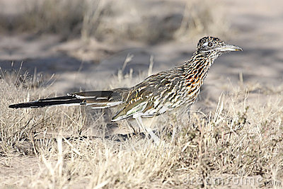 Un Roadrunner plus grand (californianus de Geococcyx)
