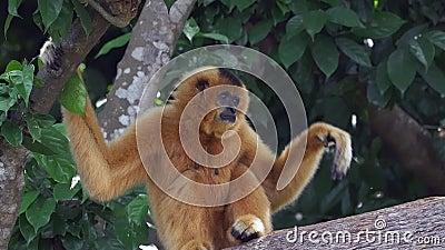 Un singe femelle de gibbon (jaune-cheeked) se reposant dans un arbre - mouvement lent clips vidéos
