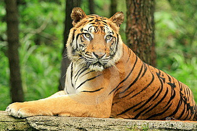 Un tigre fuerte de Java