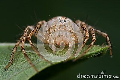 Una araña del lince