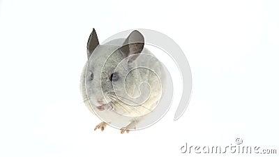 Una chinchilla blanca y tierna comiendo una nuez. Aislado en un estudio blanco almacen de video