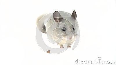 Una chinchulla blanca y fina comiendo un nuez. Aislado en un estudio blanco almacen de metraje de vídeo