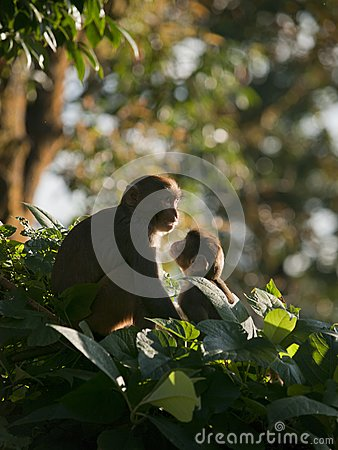 Una famiglia del macaque che mostra affetto per eachother