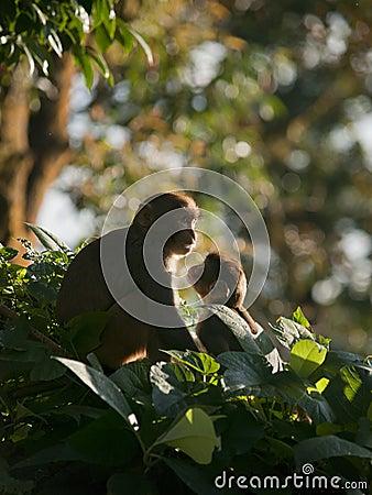 Una familia del macaque que muestra el afecto para el eachother