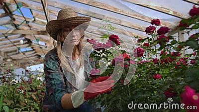 Una giovane fiorista si prende cura delle rose in una serra, sedendosi in guanti, esaminando e toccando i boccioli di fiori con video d archivio