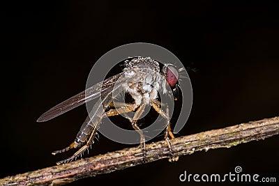 Una mosca de ladrón con lluvia cae gotas de rocío