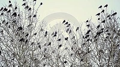 Una multitud de los cuervos negros que se sientan en un árbol almacen de video