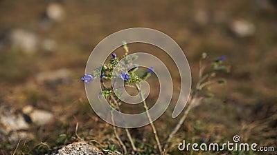 Una pequeña flor azul almacen de metraje de vídeo
