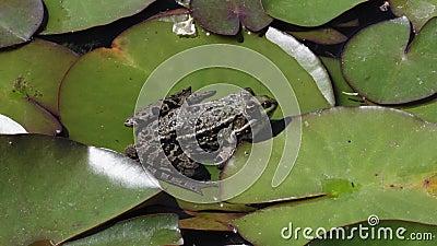 Una rana si siede su un lenzuolo d'acqua in uno stagno e poi salta per una mosca Un'estate nel giardino botanico di Monaco, Germa stock footage