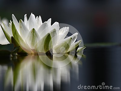 Una singola ninfea bianca con la riflessione