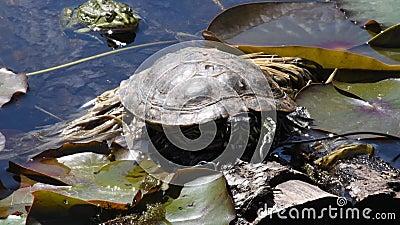 Una tartaruga si trova su un lenzuolo d'acqua giallato in uno stagno del Giardino Botanico di Monaco, Germania Sullo sfondo c'è u archivi video