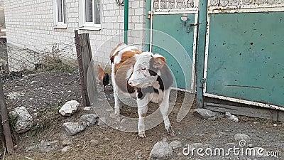 Una vaca joven y un pollo travieso en el patio de una casa de pueblo Vida en el campo Hogar almacen de video