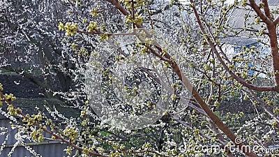 Unblown Knospen von Kirschen im Frühjahr stock video footage