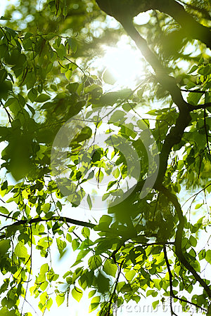 Under the birch
