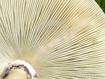 Underside gills of mushroom fungi texture