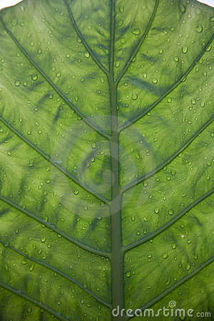 Underside Of A Green Leaf
