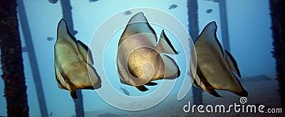 Underwater - Batfishes ( Platax orbicularis )