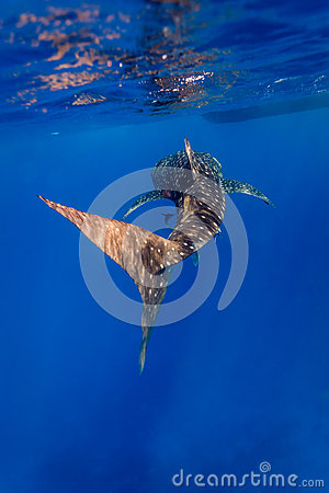 Free Underwater Close Up Of Whale Shark (Rhincodon Typus) Royalty Free Stock Image - 41773946