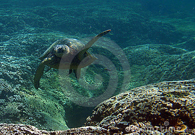 Underwater Green Sea Turtle
