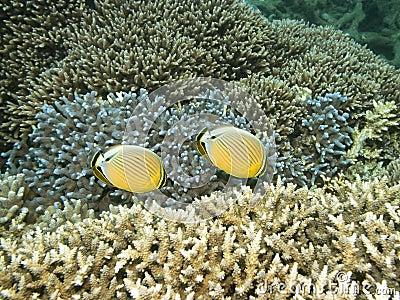 Underwater landscape. Butterflyfishes