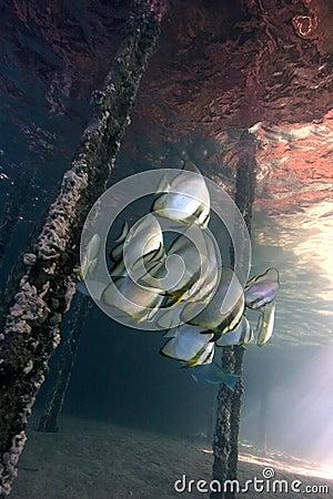 Underwater life - Batfishes ( Platax orbicularis )