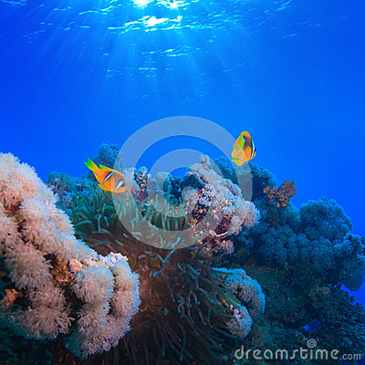 Underwater photo coral garden with anemone of yellow clownfish